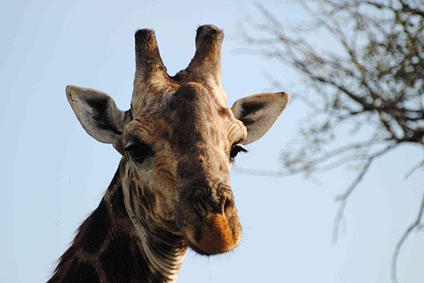 Waterbuck Private Camp Giraffe