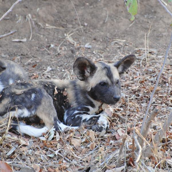 Waterside Lodge Wild Dog Pups