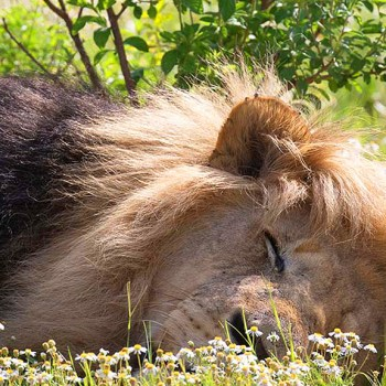 Honeyguide Khoka Moya Camp Lion Sleeping