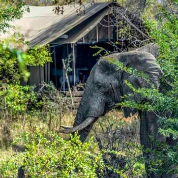 Honeyguide Mantobeni Camp Elephant