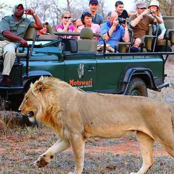 Motswari Private Game Reserve Lion