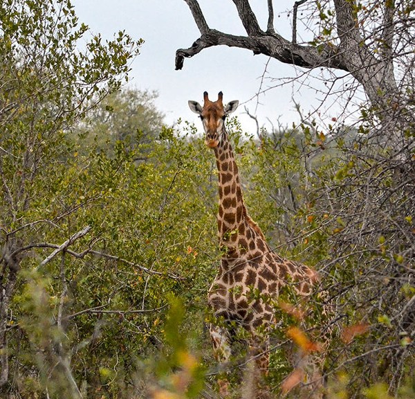 Pondoro Game Lodge Safari Giraffe