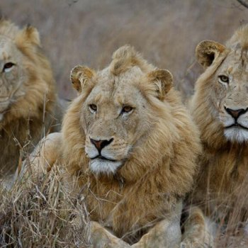 Simbavati River Lodge Lions