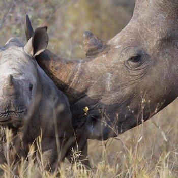 Simbavati River Lodge Rhino Calf