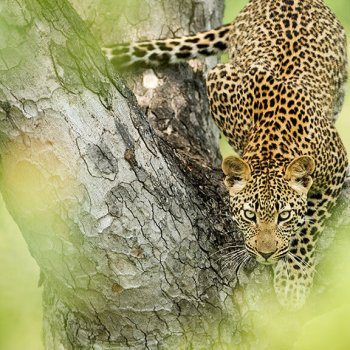 Singita Boulders Lodge Leopard