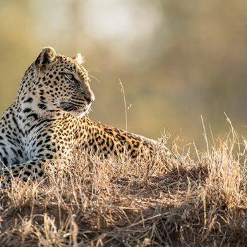 Singita Ebony Lodge Leopard Male