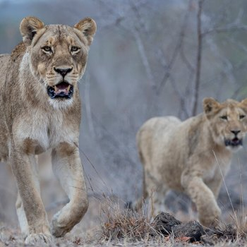 Singita Ebony Lodge Lions