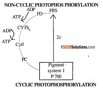 1st PUC Biology Question Bank Chapter 13 Photosynthesis in Higher Plants 4