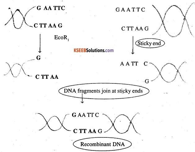 2nd PUC Biology Question Bank Chapter 11 Biotechnology Principles and Processes 1