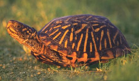 Ornate Box Turtle