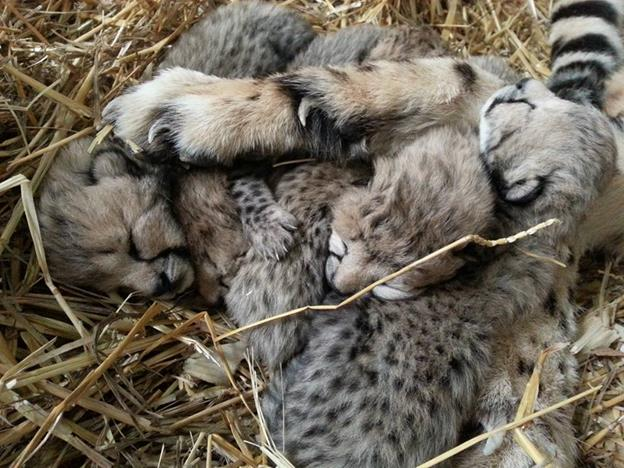 Tanganyika Wildlife Park welcomes Cheetah cubs