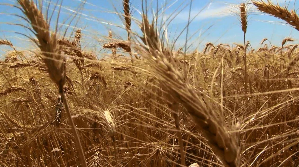 Wheat_415196