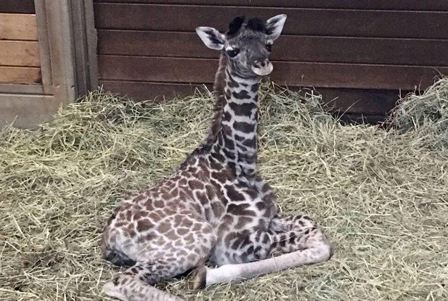 Giraffe_515899