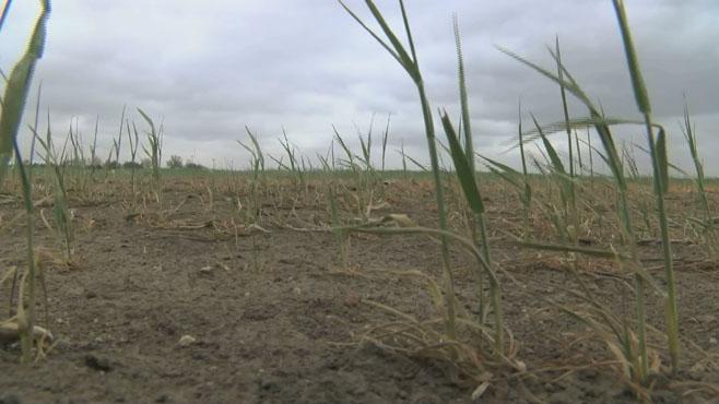 Poor Wheat Crop