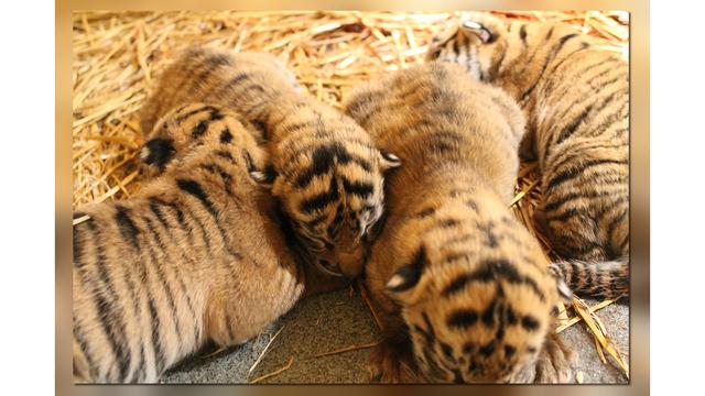 topeka tigers_1540073474490.jpg.jpg