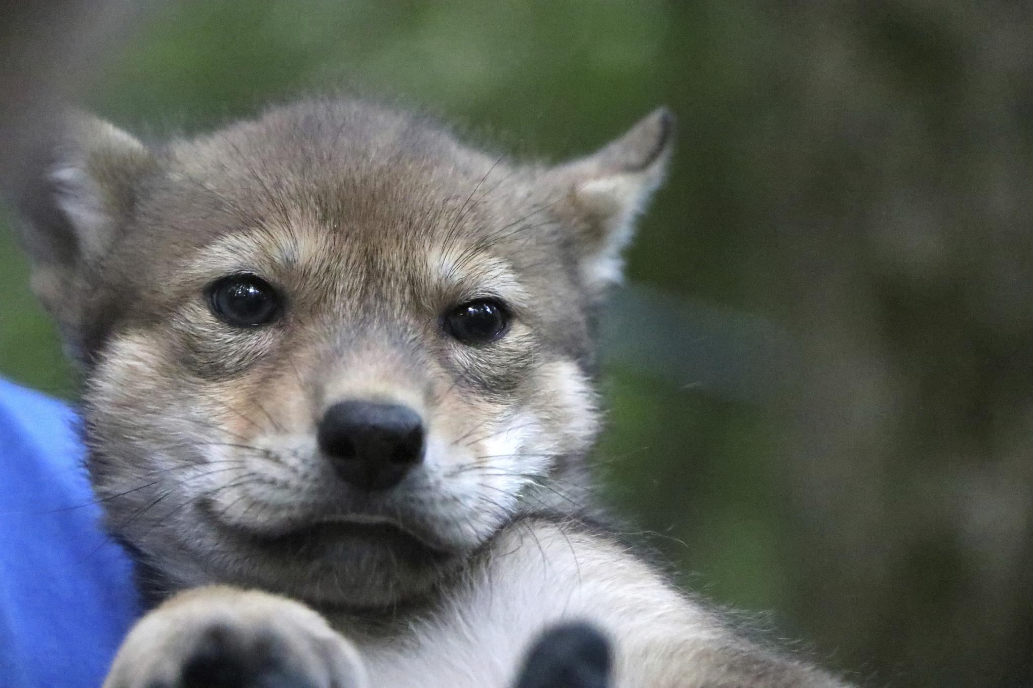 Wolf Pup Kansas_1560824572606