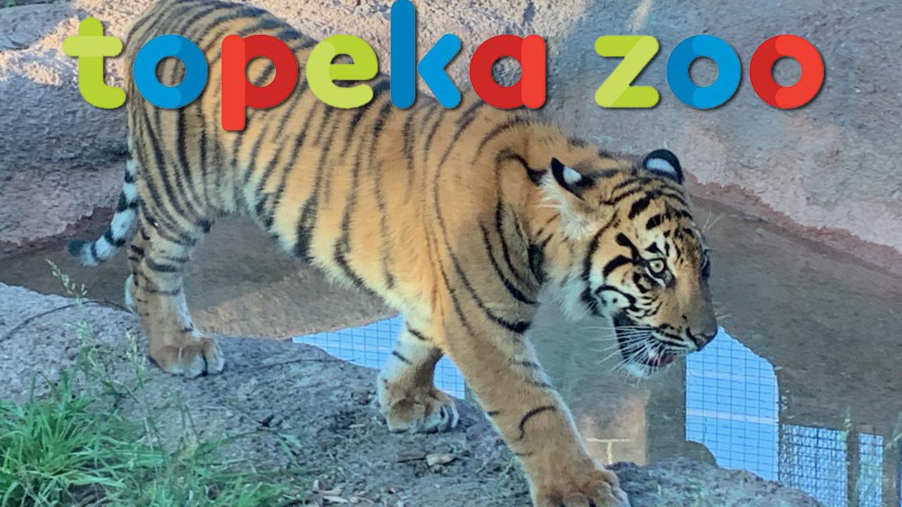 TOPEKA ZOO TIGER
