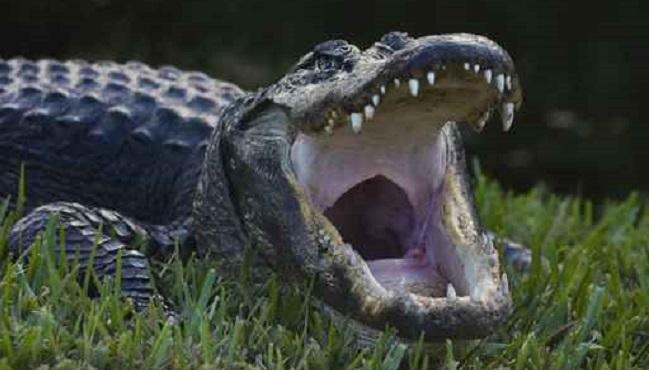 alligator_228458