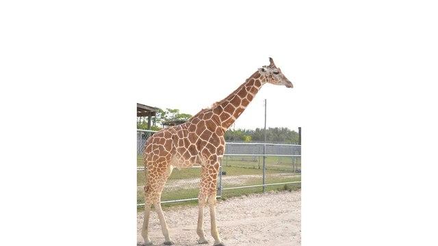 giraffe courtesy lion country safari via Facebook