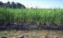 Missouri Rice