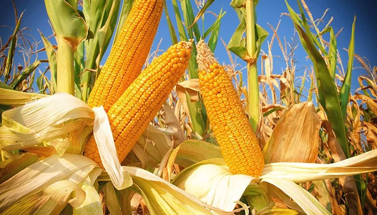 Chillicothe farmer places 3rd in state in National Corn Growers Yield Contest