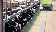 Cattle in CAFO