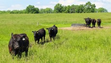 Pemberton Cattle
