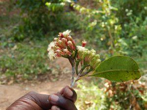 Nelkenblüte auf Sansibar