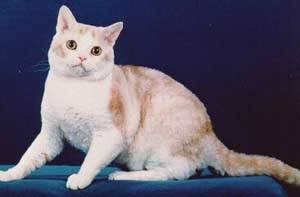 ras kucing,american wirehair