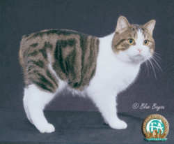 Manx brown tabby and white