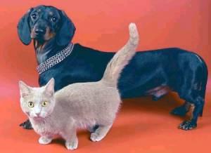 Kucing Munchkin & Anjing Daschund