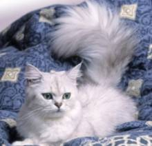 Ras Kucing Tiffanie