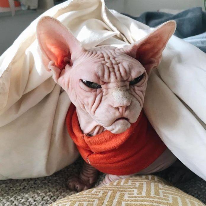 loki4 - Lucunya Loki, Kucing Sphynx Berwajah Mirip Kakek Pemarah