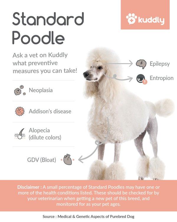 Kuddly_Standard Poodle