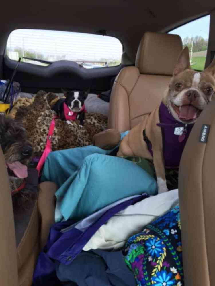 Three dogs going on vacation.