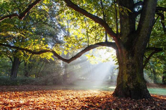 The oak grows for at least 120 years until it is ready to be felled for furniture construction.  This is followed by a drying time of 6-18 months.  (Photo: Adobe Stock / satori)