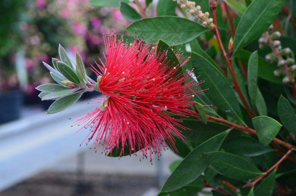 Neobično cvijeće – Bottlebrush