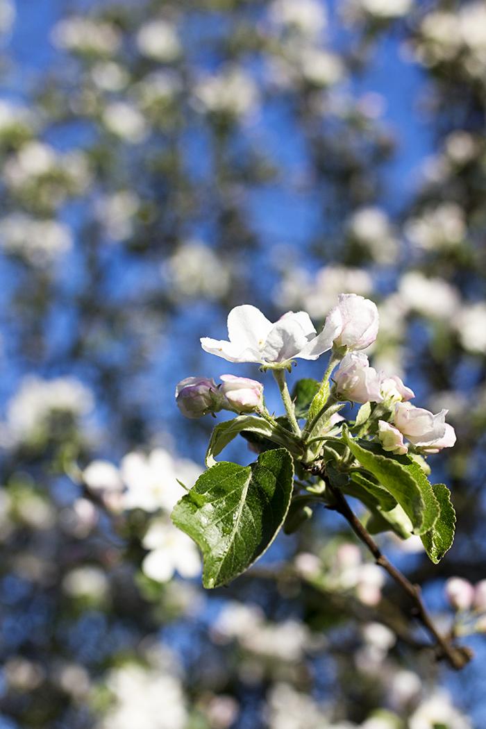 omenapuu_kukkii