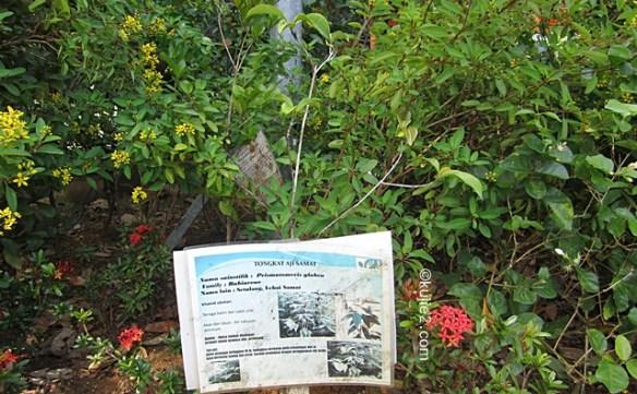 pokok tongkat haji samad