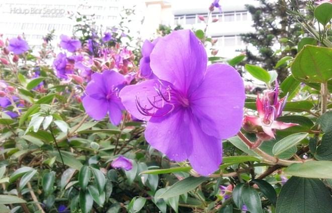 bunga senduduk