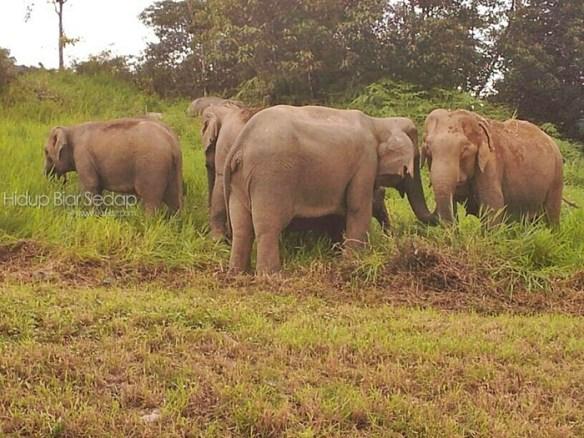 gambar gajah liar di malaysia