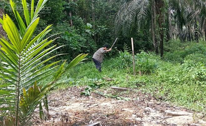 tanam kelapa sawit
