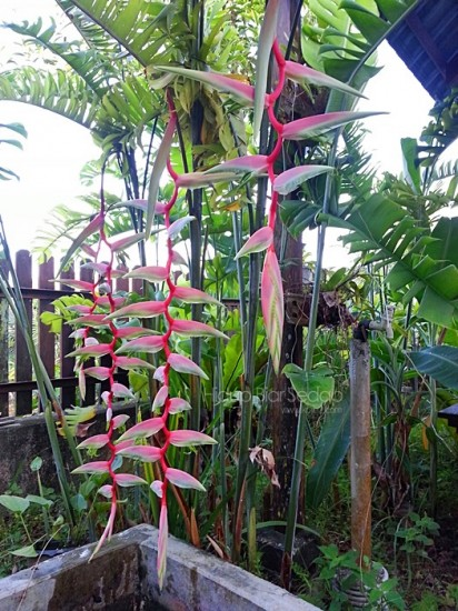 Heliconia chartacea Sexy Pink Lady