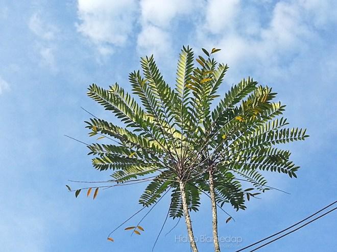 Pokok Tongkat Ali