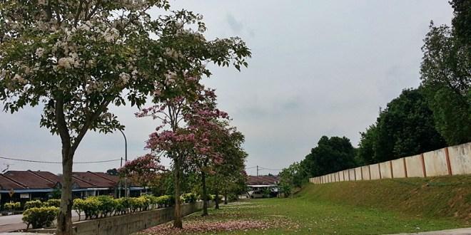 Bunga Sakura Malaysia Namanya  Tecoma