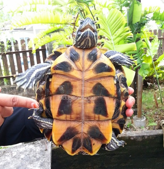 red eared slider tortoises
