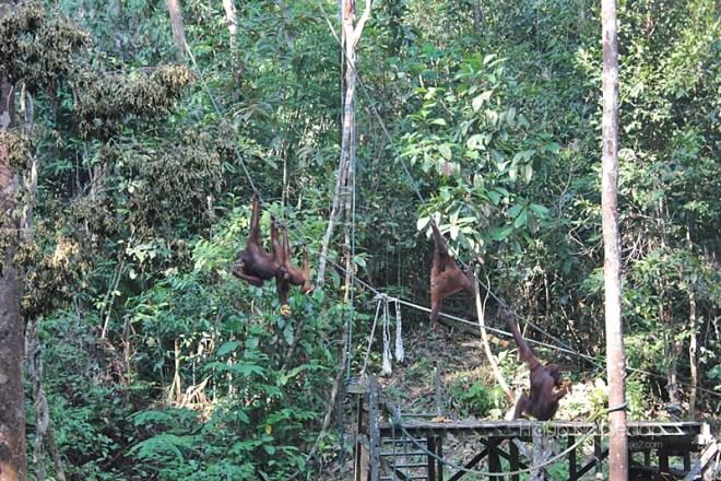 Semenggoh Wildlife Centre Sarawak