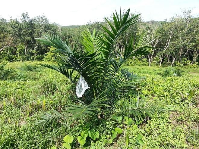 pokok kelapa sawit