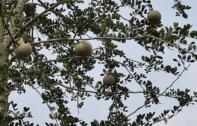 buah kawis atas pokok
