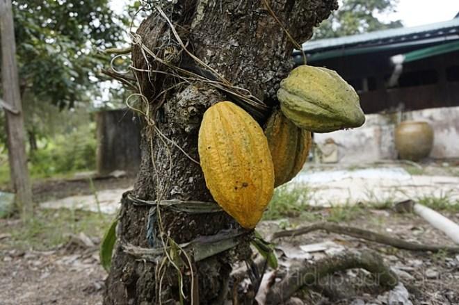 buah koko